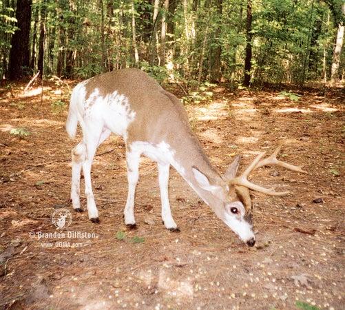 Piebald deer may also display other unique traits.