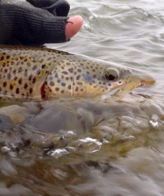 Fish America: The Bighorn