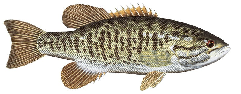 httpswww.outdoorlife.comsitesoutdoorlife.comfilesimport2014importImage2010photo3001068A_Smallmouth_Bass.jpg