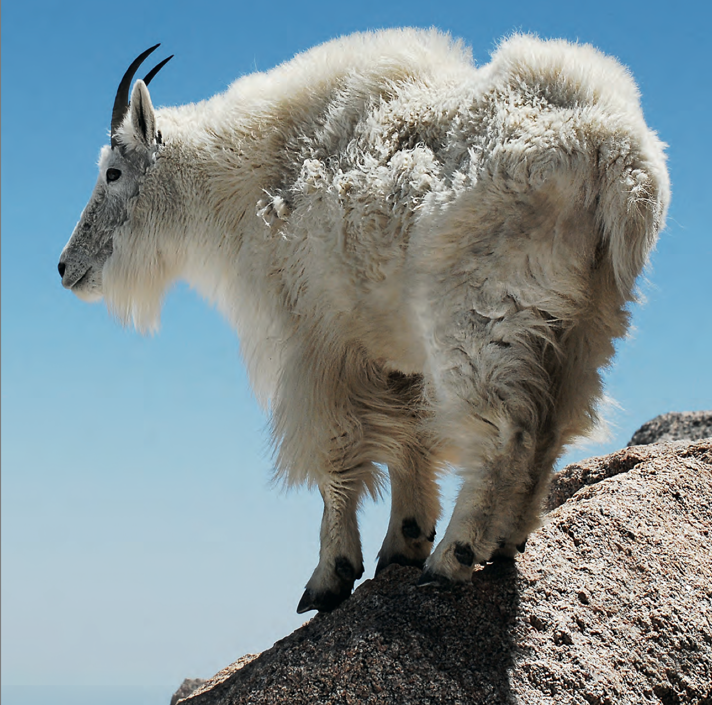Tips and Tactics: How to Hunt Mountain Goats