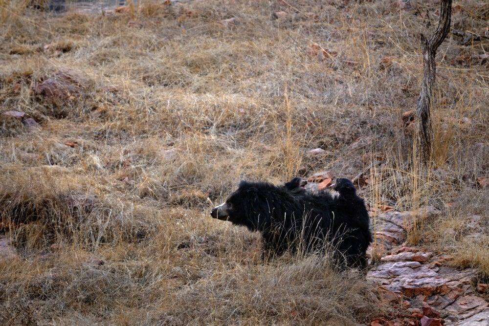httpswww.outdoorlife.comsitesoutdoorlife.comfilesimport2014importImage2011photo10013215792_1_CATERS_Bear_tiger_02.jpg