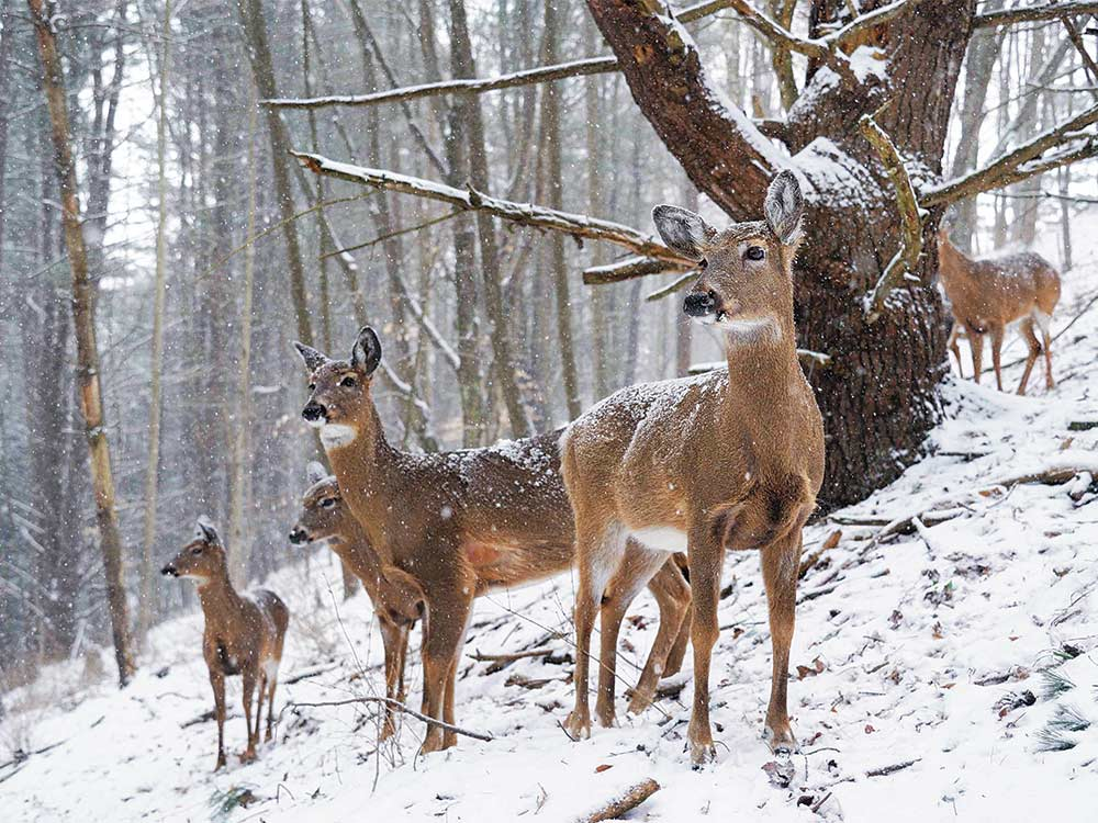 group of late-season does in field-edge woods