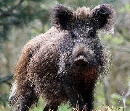 Saskatchewan Conducts Feral Pig Survey, Hopes to Stop Invasion