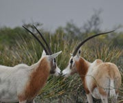 Texas Scimitar-Horned Oryx Hunt
