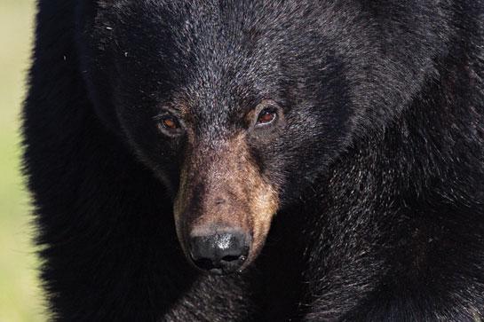 Black Bear Hunting: 4 Tactics for Uncut Cornfields