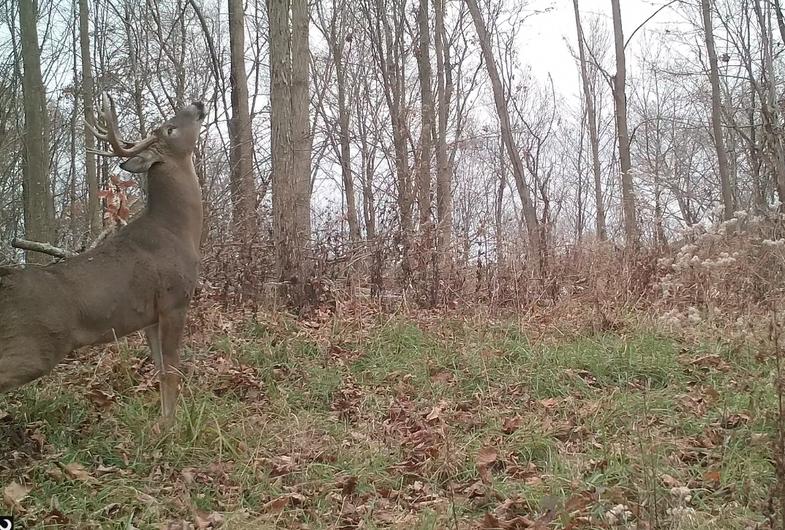 Ohio buck in rut