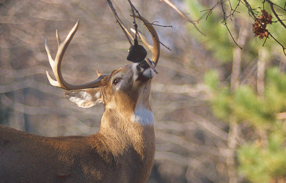 Can Urine-Based Deer Attractants Really Spread Chronic Wasting Disease?