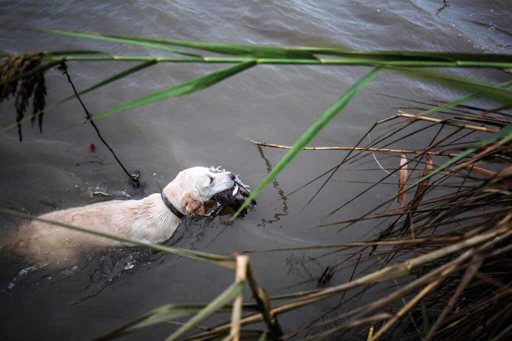 retrieving ducks