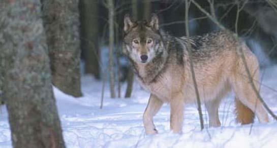Wisconsin Wolf Hunters Could Meet Quota Before Houndsmen Get a Chance to Hunt