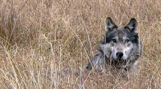 Montana Approves Wolf Hunt for Fall 2011