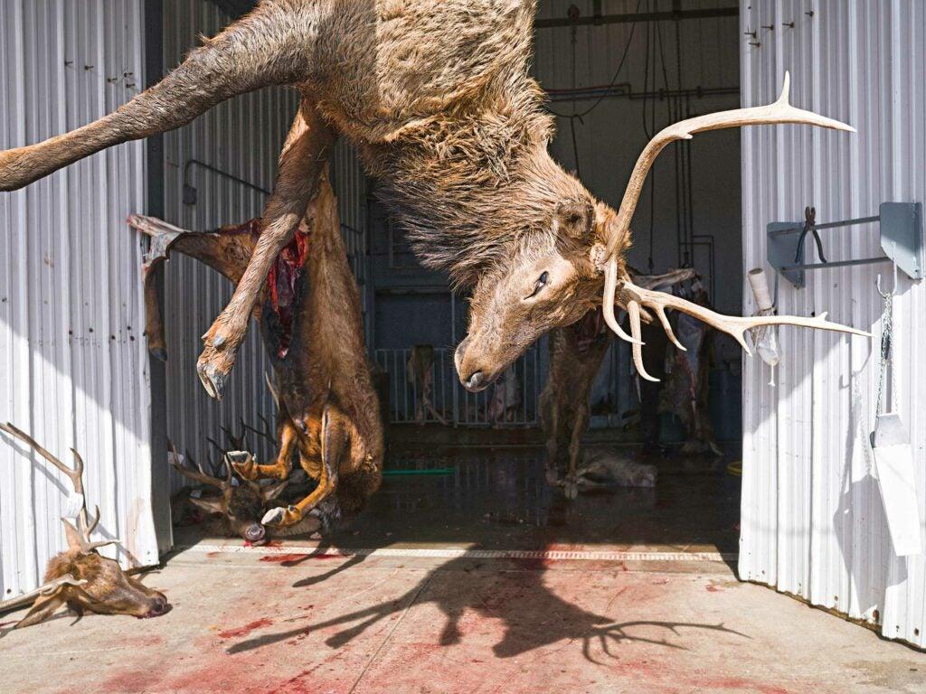 elk hanging at processor