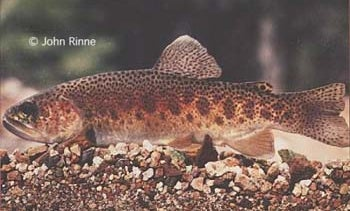 The Native Gila Trout is Back