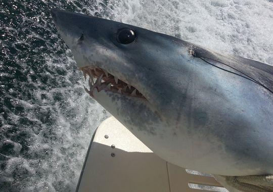 Bowfisherman Arrows World-Record Mako Shark