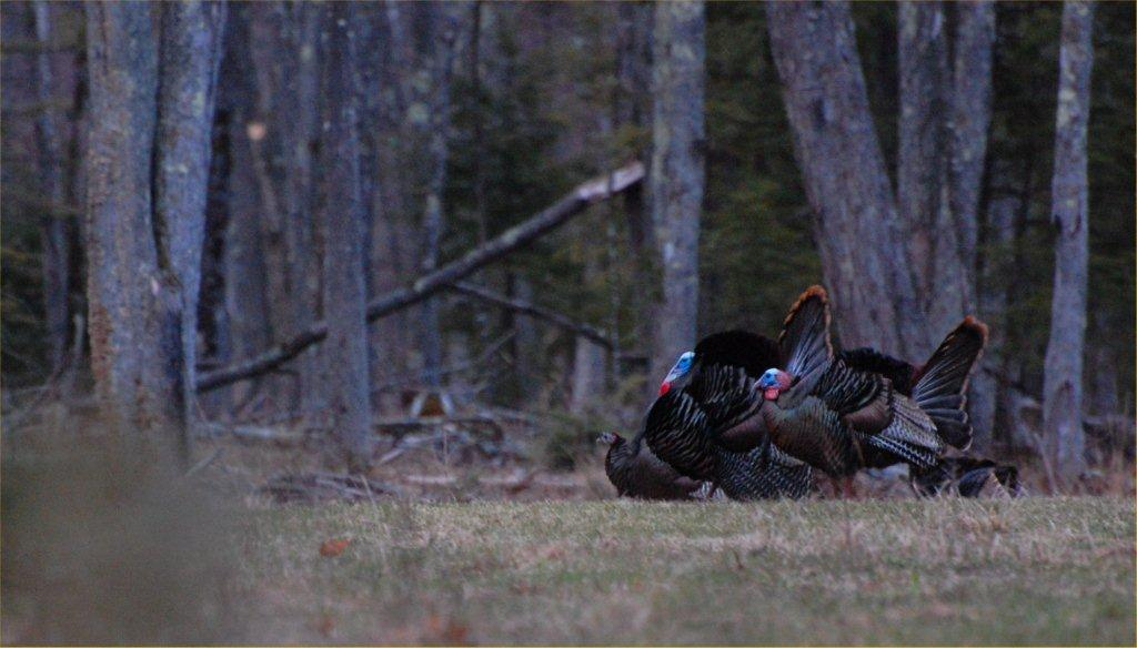 New England Gobblers
