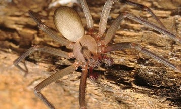 Tip for Dog Owners: Beware the Brown Recluse