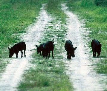 httpswww.outdoorlife.comsitesoutdoorlife.comfilesimport2014importImage2008legacyoutdoorlifehog_babies_in_road.jpg