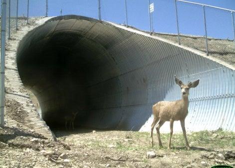 Wildlife Passageways Curb Collisions in Utah and Wyoming