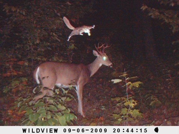 This young buck is about to be very startled by a flying squirrel.