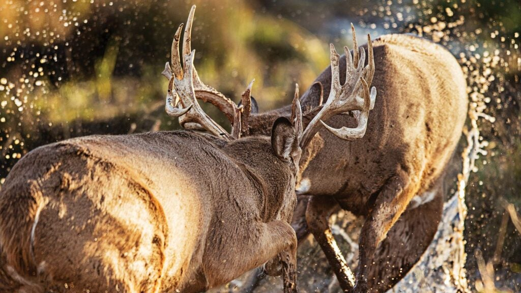 Two bucks fighting for dominance