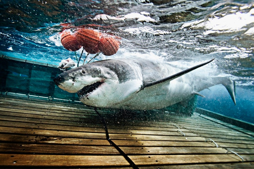 Great White!