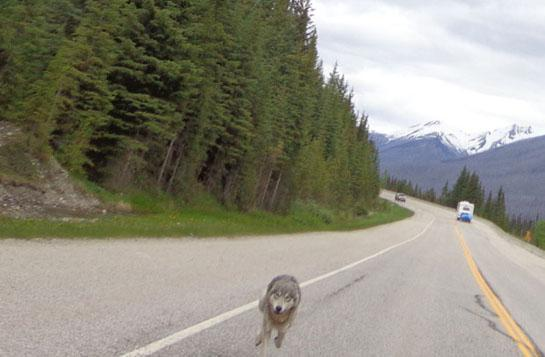 Motorcyclist Chased by Wolf in Kootenay National Park