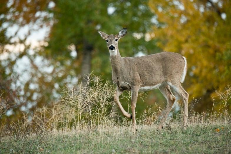 deer scent