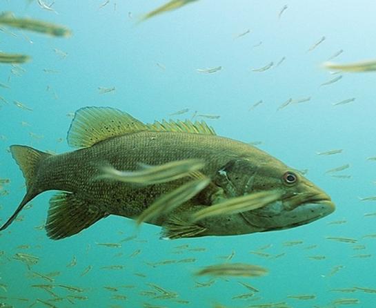 bass and baitfish