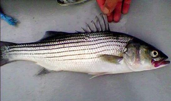 U.S. Striped Bass Caught in Britain