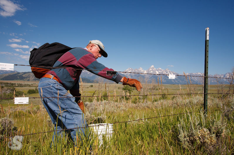 Jackson Hole Wildlife Foundation Pulling Down Fences to Improve Elk Migration Corridors