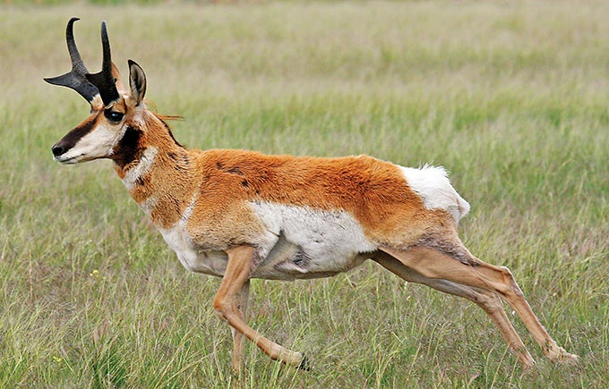 Western Bowhunting: Use Cows to Tag a Pronghorn