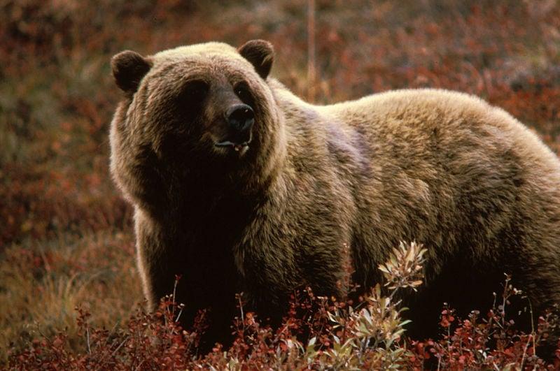 Fatal Bear Attack Near Yellowstone