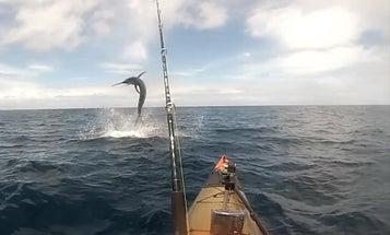 Video: Australian Kayak Fisherman Catches and Releases Monster Marlin