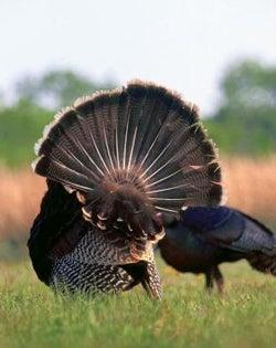 Kill a Jake or Eat a Turkey Tag?