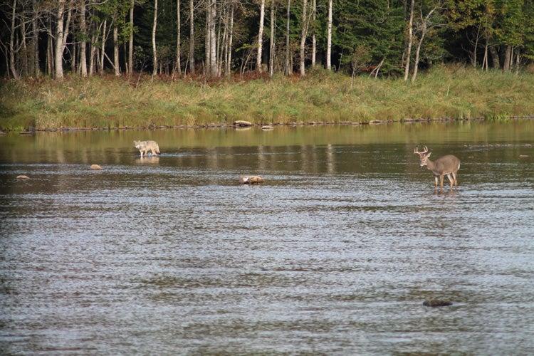 httpswww.outdoorlife.comsitesoutdoorlife.comfilesimport2014importImage2012photo10013215794._Deer_Wolf_sm.jpg