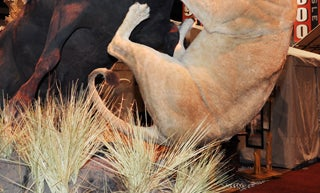 20 Best Taxidermy Photos from the Safari Club International Convention