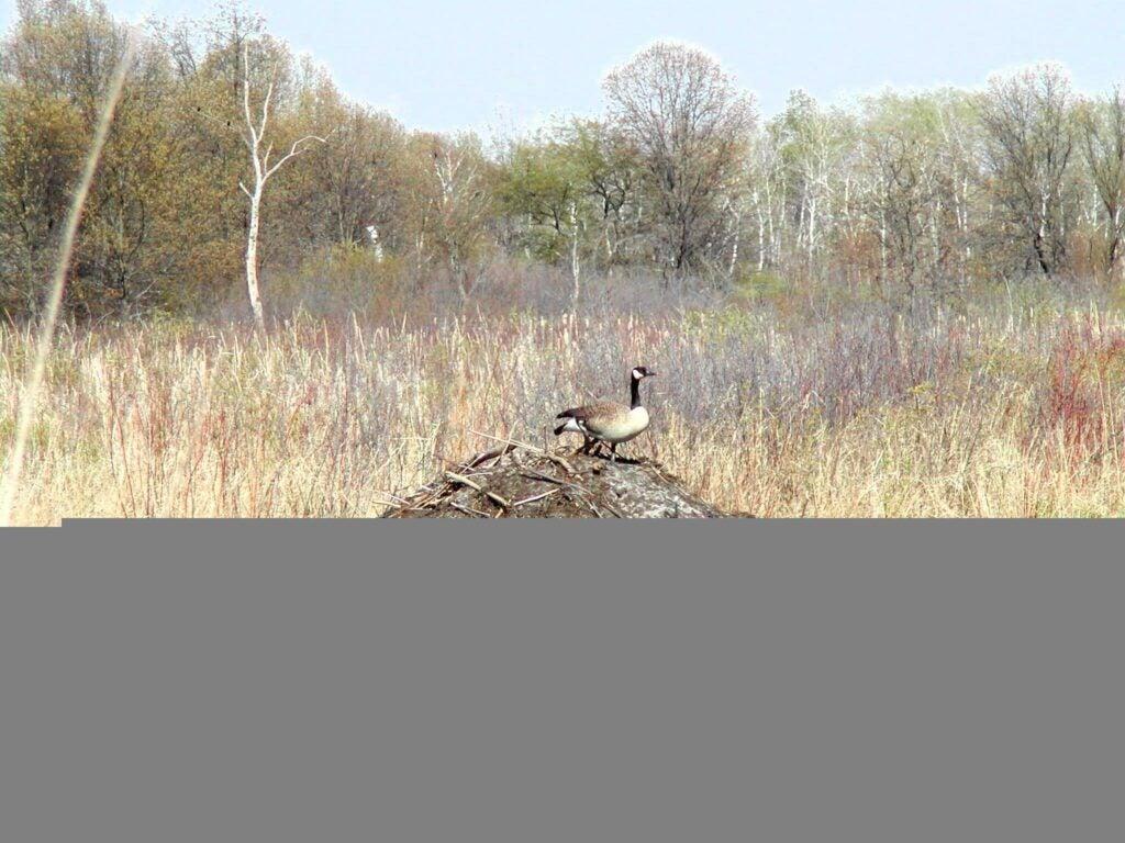 httpswww.outdoorlife.comsitesoutdoorlife.comfilesimport2013images201102goose_nest_0.jpg