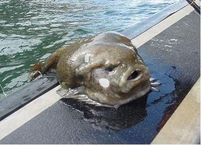 The Uglyfish