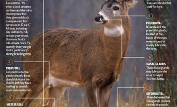 Deer Anatomy Lesson: How Buck Scent Glands Really Work