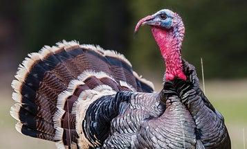 Are Nebraska's Wild Turkey Species All Becoming Hybrids?