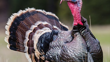 nebraskan turkey hunting tour