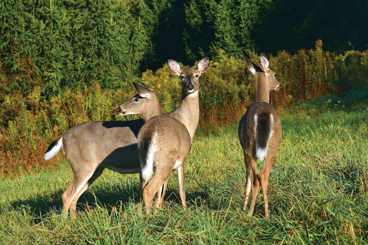Antlerless Deer: Which Ones, How Many, and When to Harvest Does
