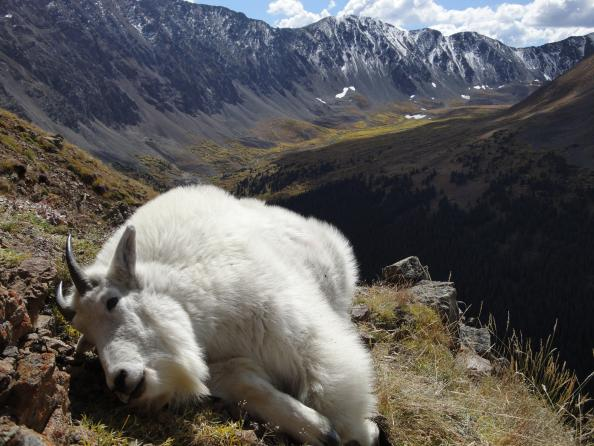 Mountain Goat Hunting Tips: Tactics and Gear