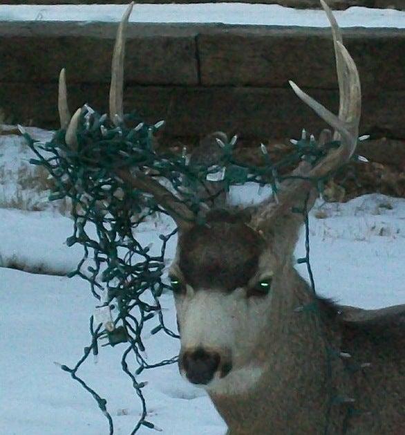 Jingle Buck