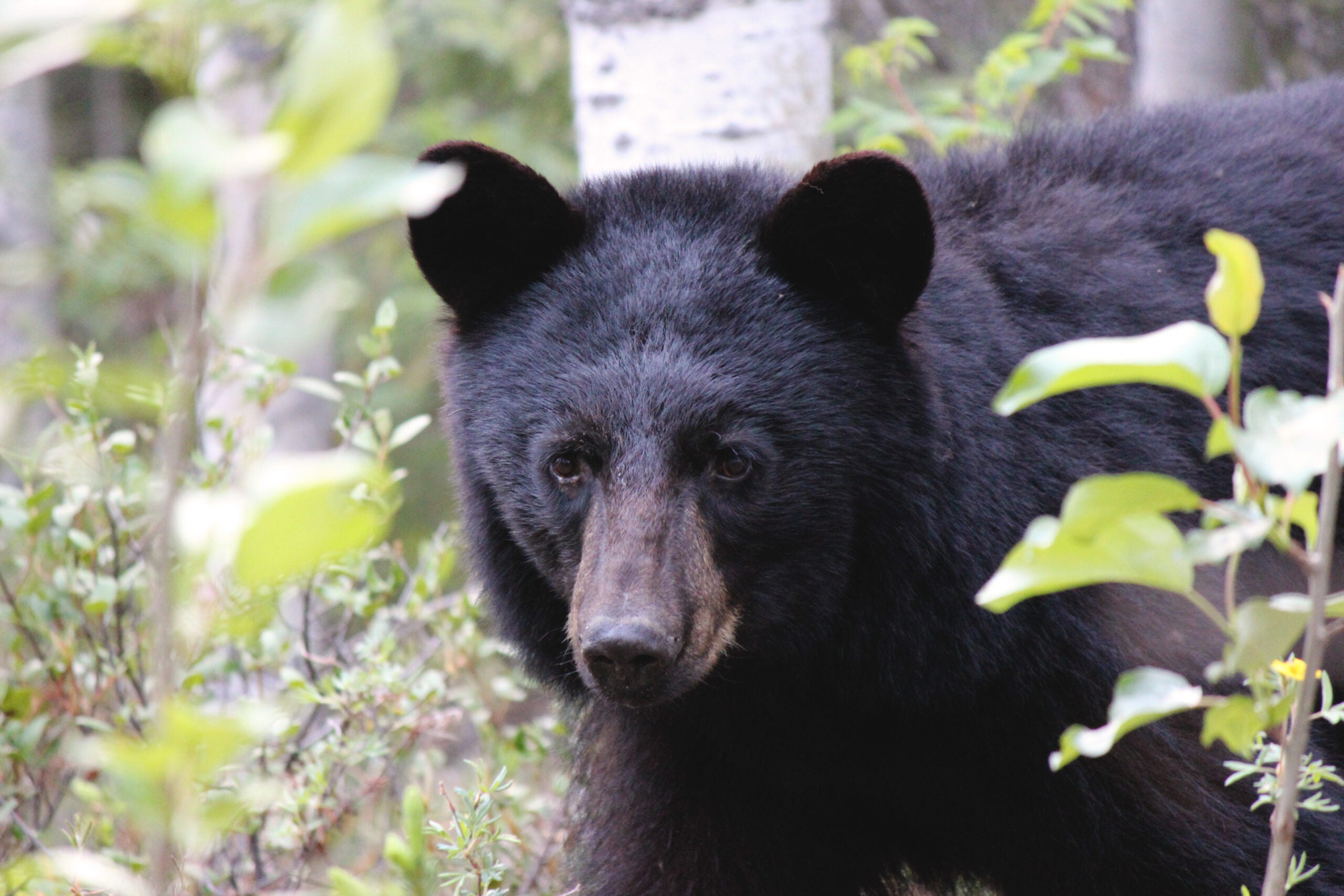 Bear Hunting: 3 Steps for Overcoming the Bear Shakes
