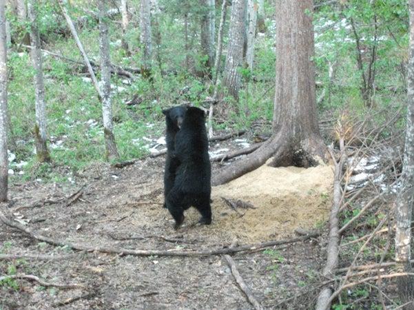httpswww.outdoorlife.comsitesoutdoorlife.comfilesimport2014importImage2010photo3001007AB2010_BearFight.jpg