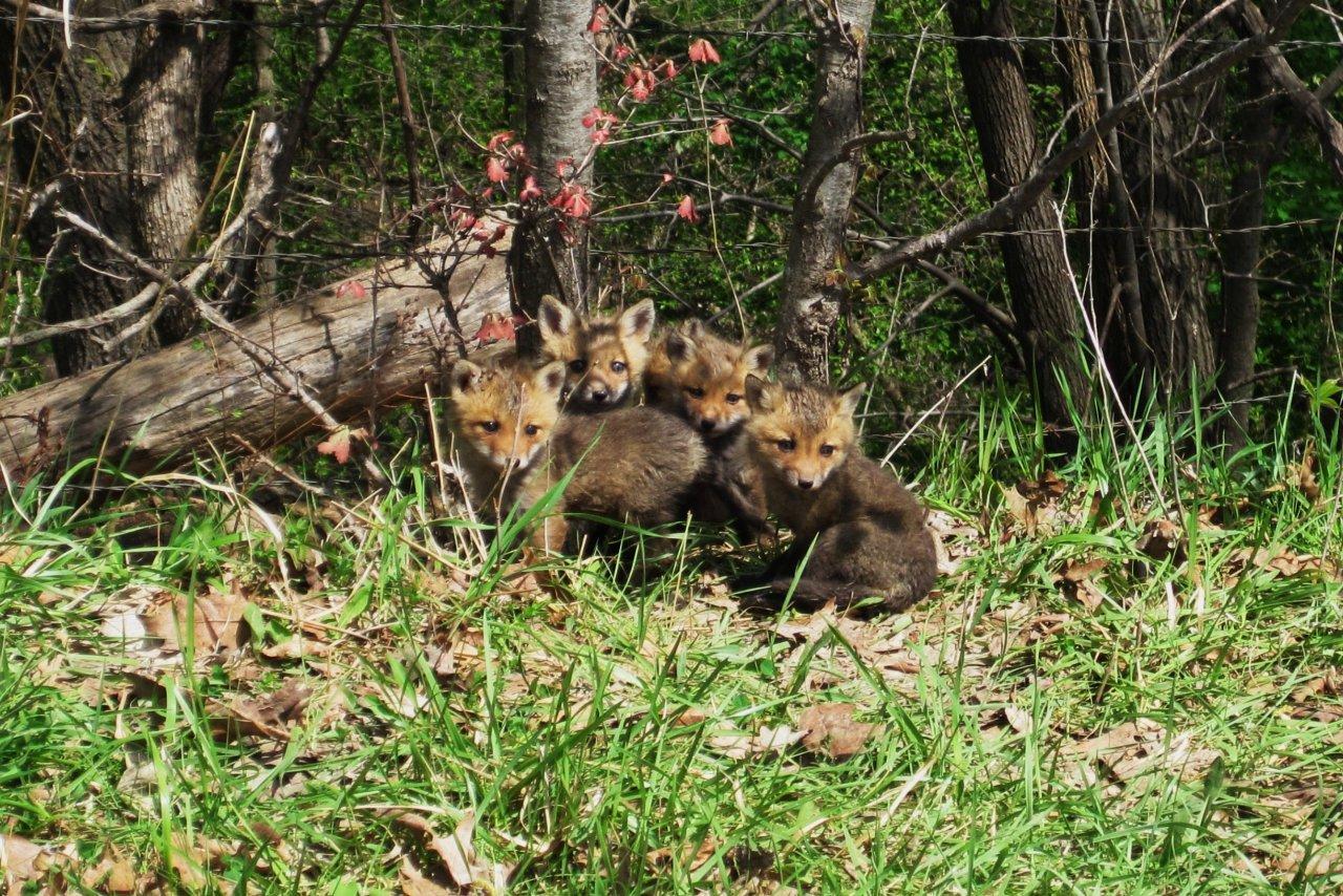 Roadside Fox Pups