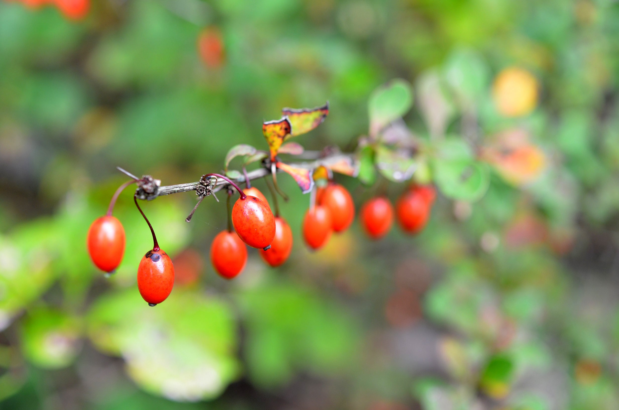 Survival Skills: How to Identify Toxic and Edible Red Berries
