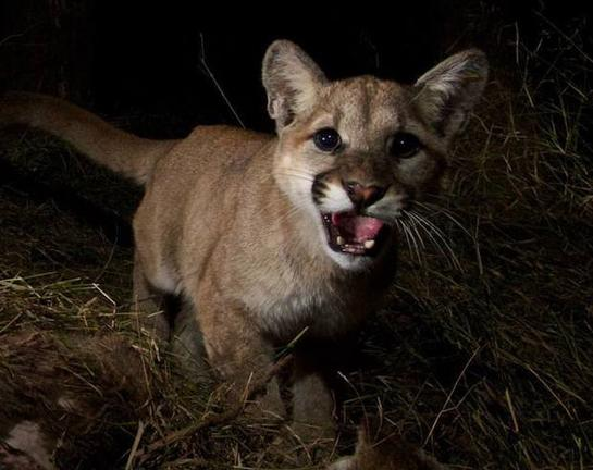 Trail Cam Photos: Mountain Lion Cubs Eating Deer Carcass