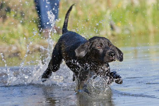 Gun Dog Training: Introducing Your Pup to Water, Game, and Gunfire