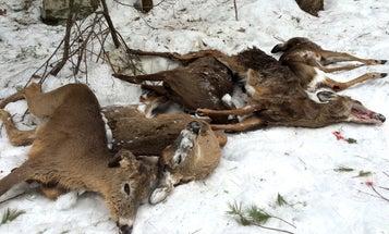 Whitetail Deer: Winter Feeding Kills 12 Deer in New Hampshire